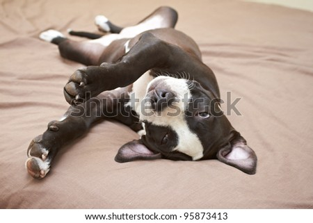 Young Pit Bull puppy asleep on soft beige bed - stock photo