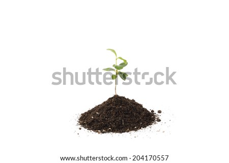 young Pittosporum tobira and small heap of soil for repotting, isolated on white background - stock photo