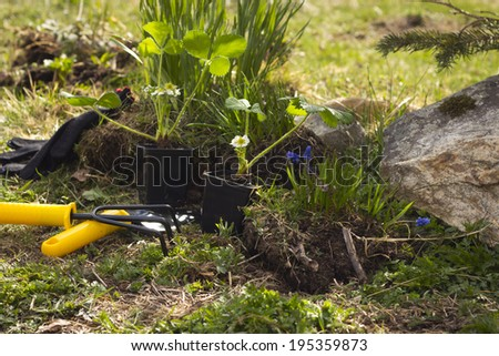 Young plant and inventory in the garden. Muscari, strawberries and narcissus planting - stock photo
