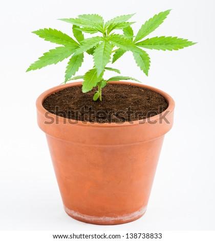 young plant marijuana - stock photo