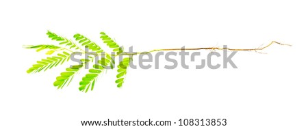 young plant of the tamarind on white background - stock photo