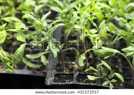 Young plants growing in greenhouse, closeup - stock photo