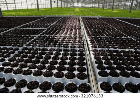 Young plants growing in very large plant  in commercial greenhouse - stock photo