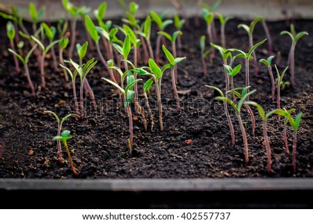 Young plants in greenhouse. Seedlings in the spring on the terrace. Flower seedling.Young green tomato seedlings - stock photo