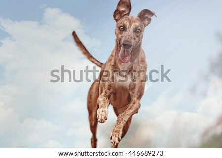 Young, playful, cheerful, energetic, racing, funny and fast dog breed whippet running, jumping, flying to the ball on a dirt road in a blue sky background - stock photo