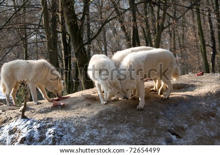 Young polar wolves are flirting with a female. - stock photo