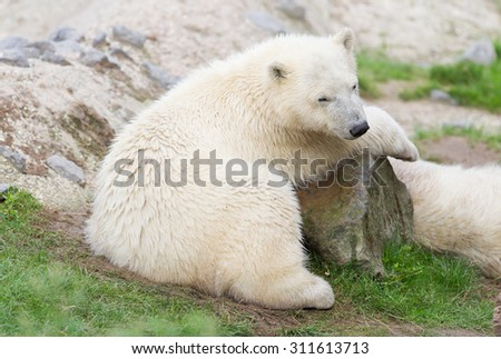 Young polarbear resting on a large rock - stock photo