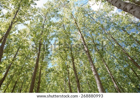Young poplar forest on springtime, Valdelacalzada, Spain. Low angle view - stock photo