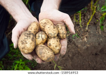 Young potatoes in hands - stock photo