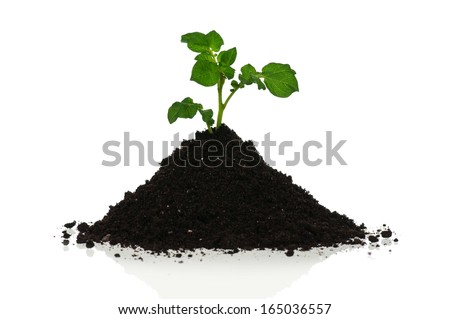 Young potatoes sprouts on a black organic soil over white background - stock photo