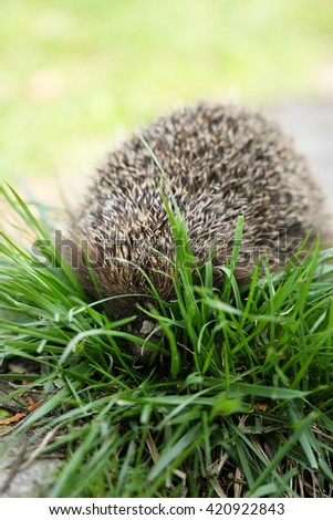 Young prickly hedgehog in their natural habitat, on the grass - stock photo