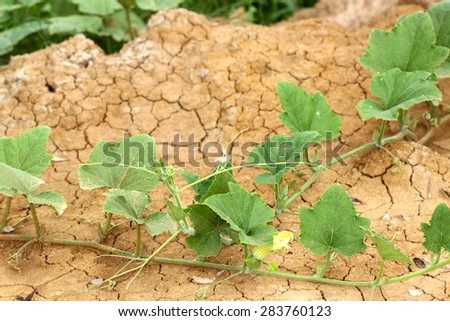 Young pumpkin leaves on ground - stock photo