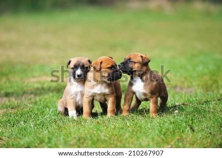 young puppies belgian shepherd malinois in  field - stock photo