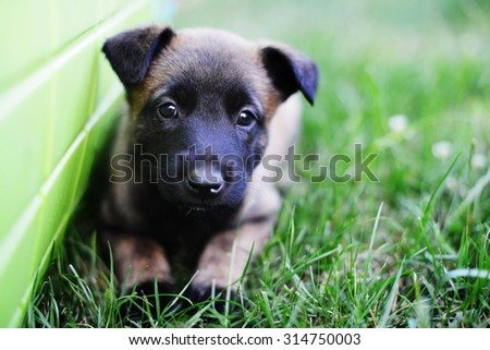 young puppies belgian shepherd malinois in field - stock photo
