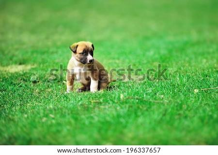 young puppy belgian shepherd malinois in  field - stock photo