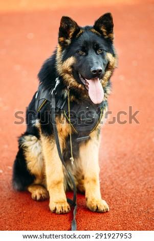 Young Puppy Black German Shepherd Dog Sitting On Ground - stock photo