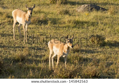 Young puppy group of Antelope American antilocapra while running in Lamar valley Yellowstone - stock photo
