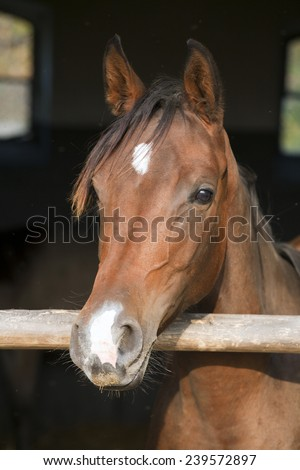 Young purebred mare posing in the stable door - stock photo