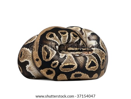 Young Python regius, 10 months old, curled up in front of a white background, studio shot - stock photo