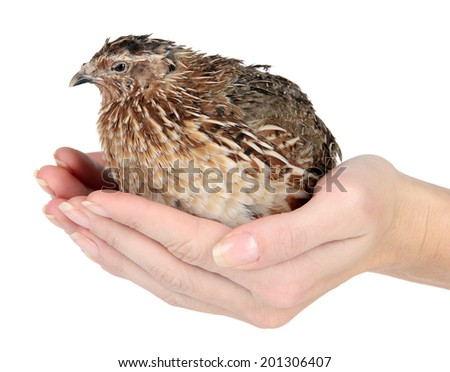 Young quail in hands isolated on white - stock photo