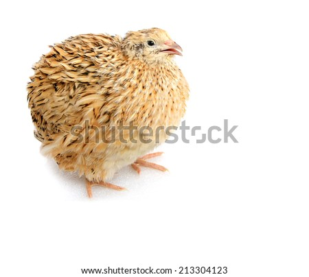 Young quail isolated on white - stock photo
