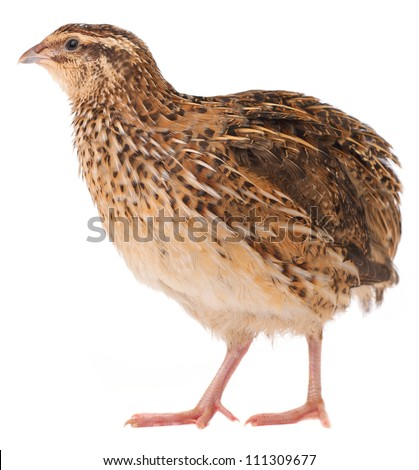Young quail isolated on white background - stock photo