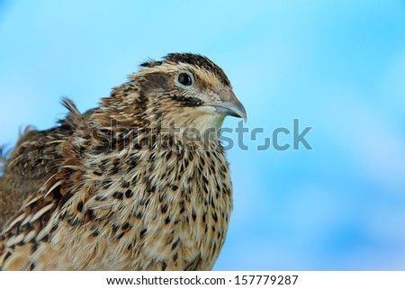 Young quail on blue background - stock photo