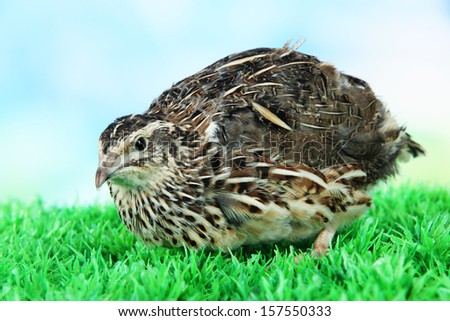 Young quail on grass on blue background - stock photo