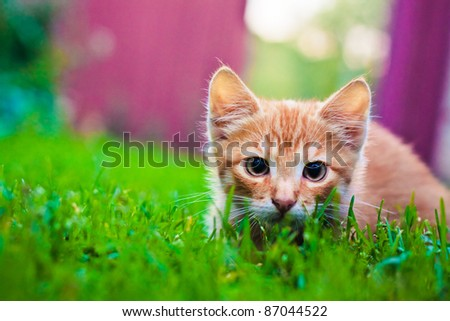 Young red cat kitten in grass outdoor shot at sunny day - stock photo