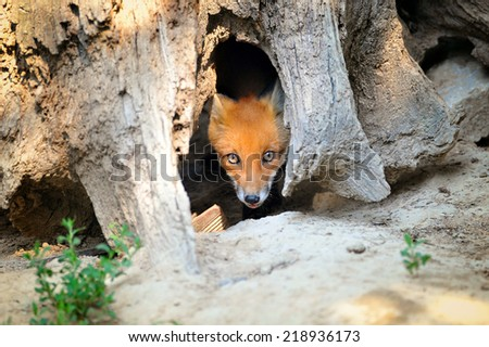 Young Red Fox Hiding in Tree Stump Den - stock photo