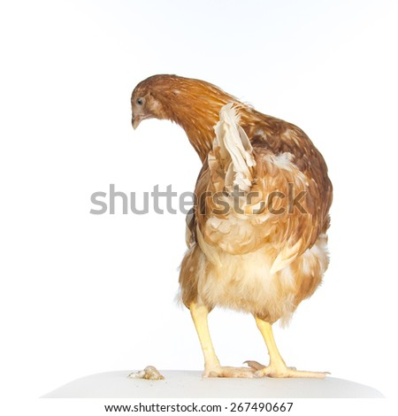 Young red hen - stock photo