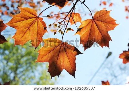 Young red maple leaves in the spring, backlight. - stock photo