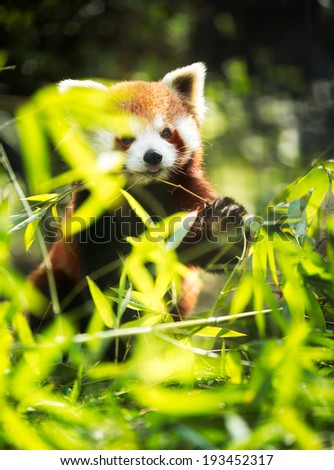 Young red panda eating leaves in nature - stock photo
