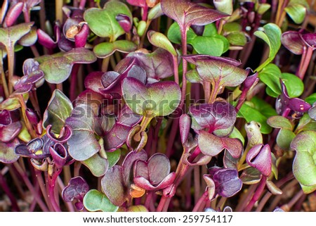 Young  red radish seedlings - stock photo