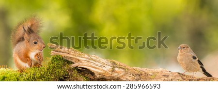 young red squirrel and young bullfinch standing on moss and tree trunk - stock photo
