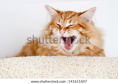 young red stripped siberian cat yawning - open jaws, eyes closed - stock photo