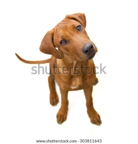 Young reddish dog from above, head sideways, isolated  on white  background - stock photo