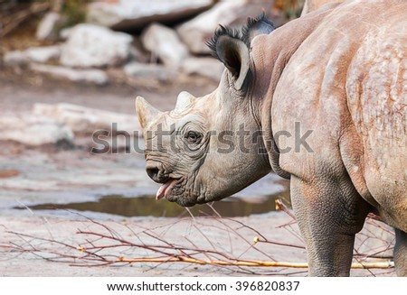 young rhino protrudes his tongue - stock photo