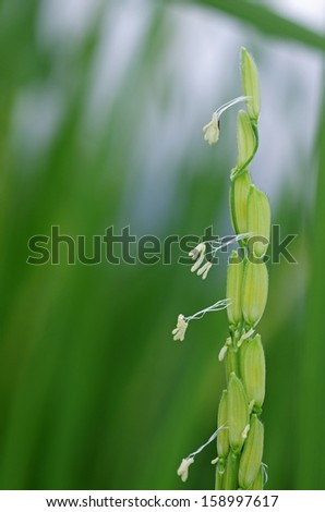 young rice seeds and rice flowers in the paddy field - stock photo