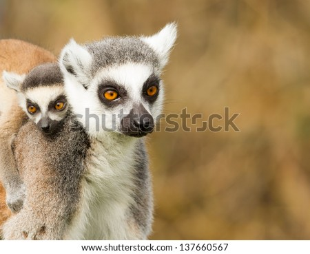 Young Ring-tailed lemur on the back of it's mother - stock photo