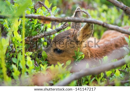 Young Roe deer hiding in the vegetation - Capreolus capreolus - stock photo