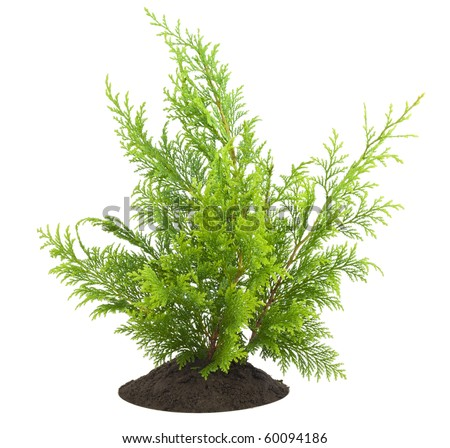Young sapling of evergreen thuja  on bed, isolated on white  postcard background. - stock photo
