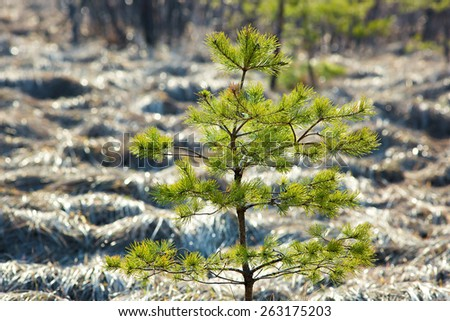 Young sapling pine tree. - stock photo