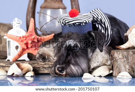 young schnauzer  in hat sailor - stock photo