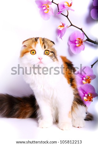 young scottish fold kitten with orchid on white background - stock photo