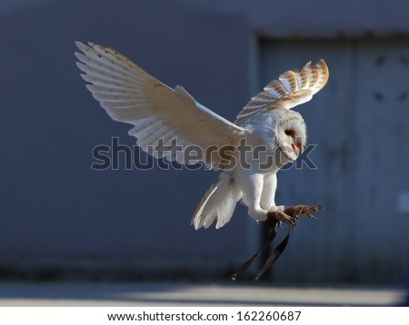 Young screaming barn owl landing on the blue background - stock photo