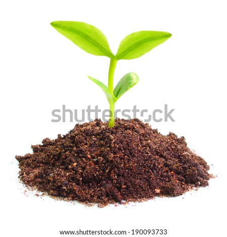 Young seedling growing in a soil.  - stock photo