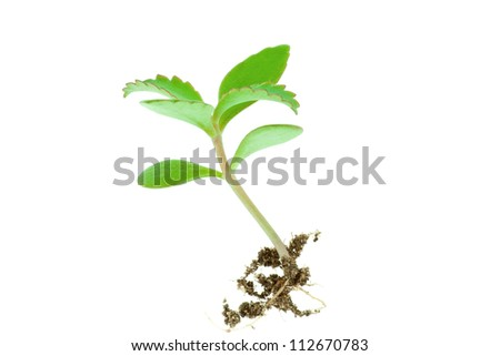 Young seedling growing in a soil isolated on white - stock photo