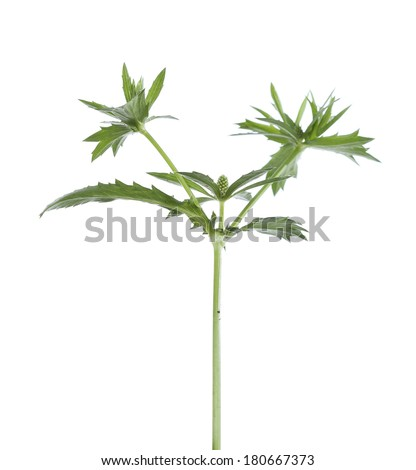 young seedlings of parsley plant isolated on white background - stock photo