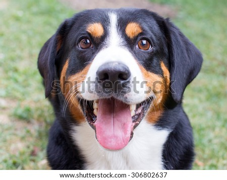 Young Sennenhund, close-up, playfull look in the eyes - stock photo